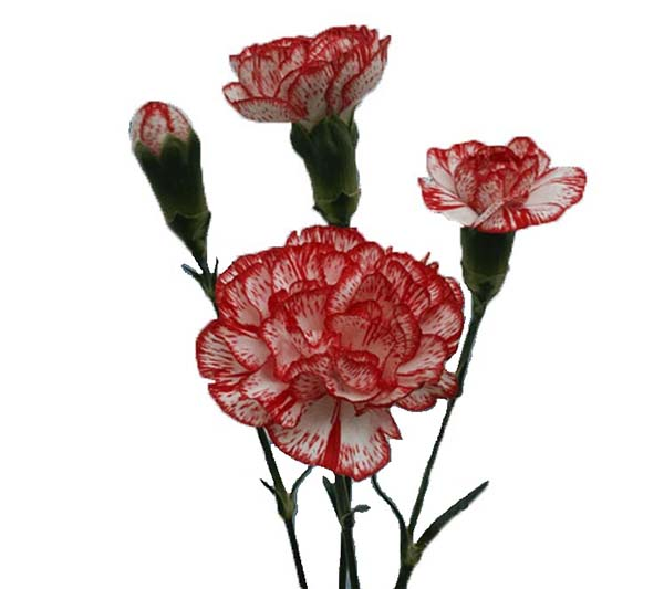 Mini Carnation Number One